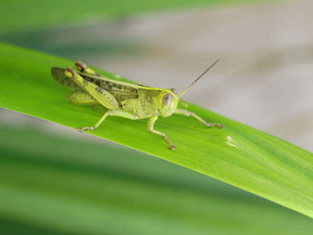 grasshopper on the pandans leaf Stock Photo - 9627991