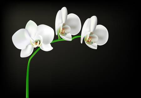 white orchid on black background