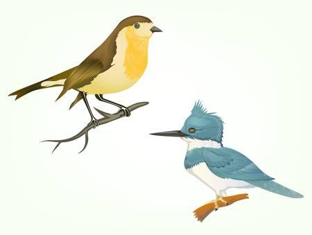 robin: birds isolated on white Illustration
