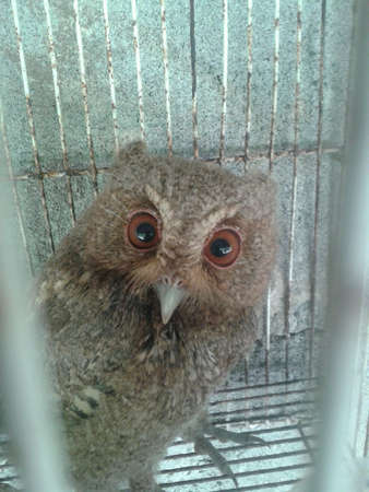 Owl in the cage