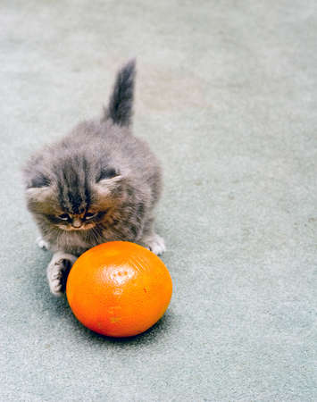 Cute adorable Persian kitten playing with a grapefruit photo