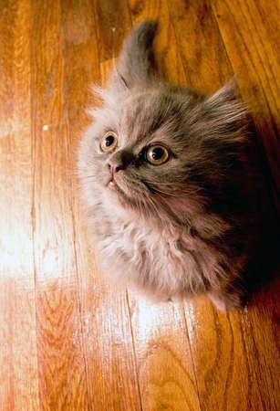 Cute adorable Persian kitten looking up on a wooden hardwood floor background