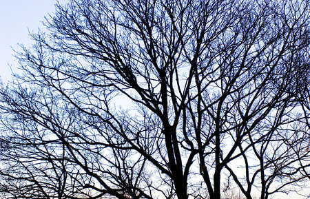 Wide spread tree crown with bold dark branches over blue sky