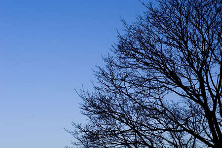 Part of wide spread tree crown with bold branches over blue sky background Zdjęcie Seryjne