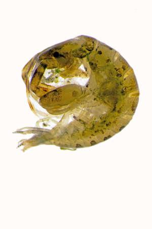 crustacea: Amphipod Stock Photo