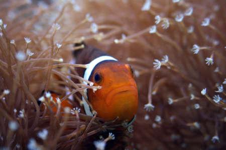 Anemonefish Stock Photo - 10822694