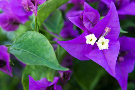 kerneudikotyledonen: bougainvillea Stock Photo