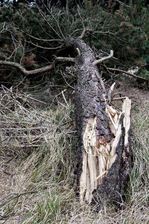 overthrown: Fallen tree
