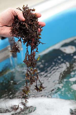 algas marinas: La acuicultura de algas marinas