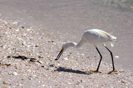 ciconiiformes: Cattle Egret