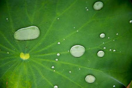lotus effect: Lotus Effect