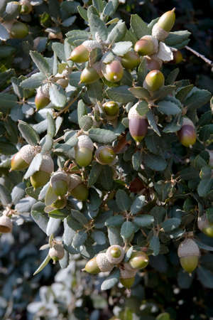 fagaceae: Holm Oak Quercus ilex Stock Photo