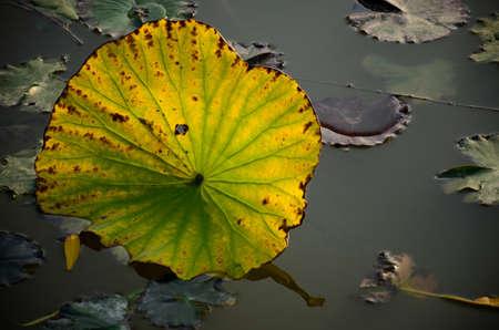 mottled: Tranquil lotus pond mottled