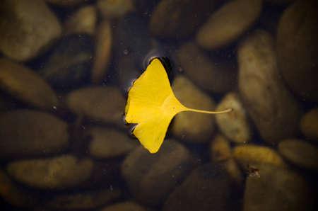 ginkgo leaf: Ginkgo leaf floating in the water
