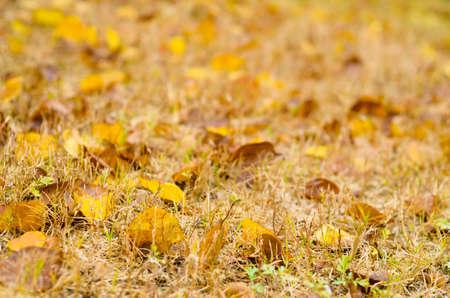bacillus: Golden autumn leaves on the grass