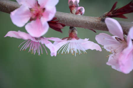 Peach blooming in the spring photo