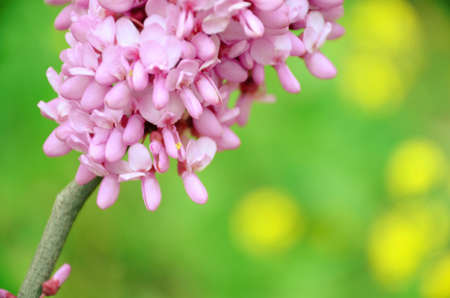 redbud: Close up of flowers blooming