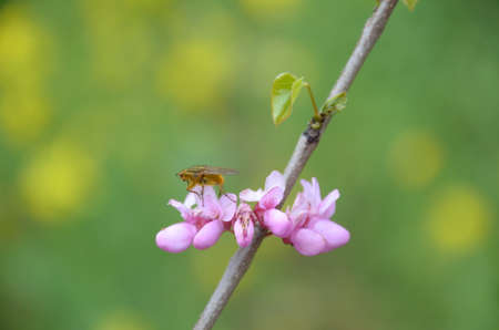 redbud: Close up of flowers blooming and bugs Stock Photo