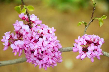 redbud: Blossom of flowers