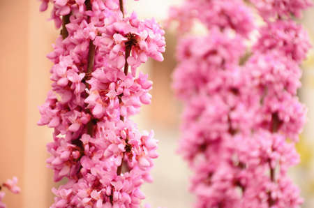 redbud: Blossom of flowers in the spring
