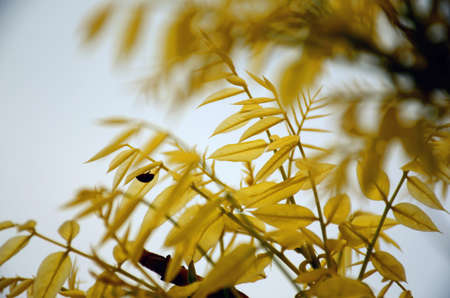 coccinella: yellow leaves Stock Photo