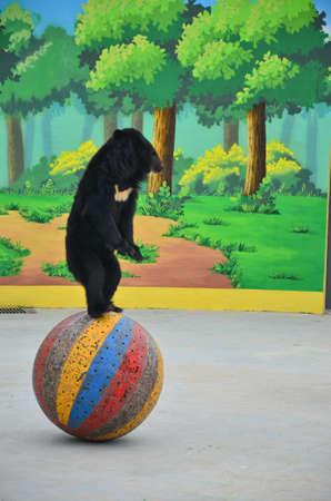 performing: a black bear is performing