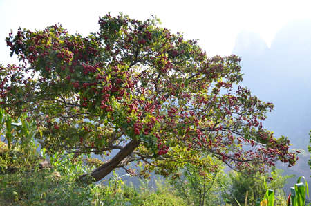 fruitage: Autumn filled with Hawthorn Hawthorn tree in the background mountains