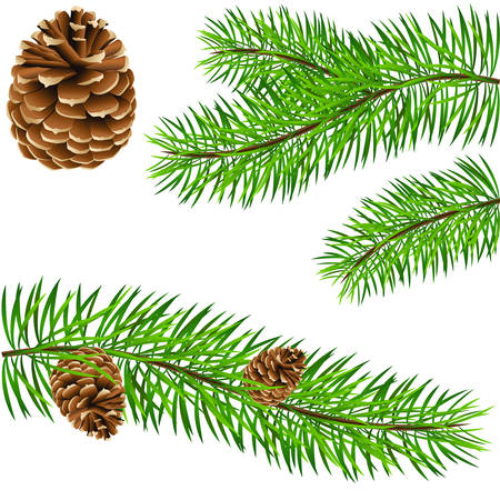 pinecone and pine branches Vector