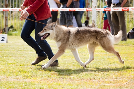 show dog: Happy dog walking with owner during the summer dog show Stock Photo