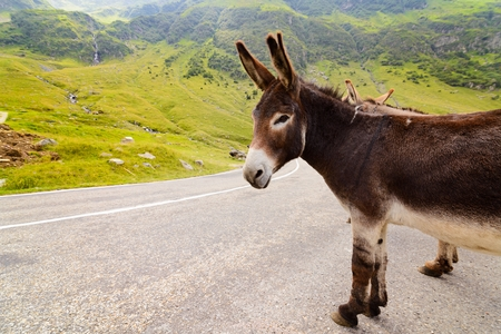 Funny donkey on Transfagarasan road in Romanian mountains