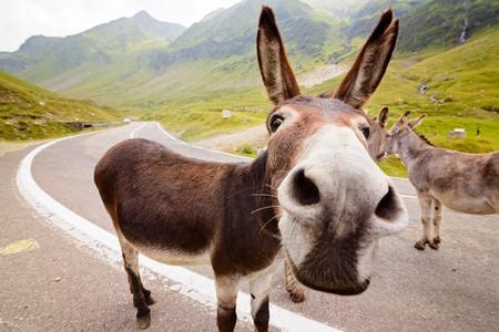 Funny donkey on Transfagarasan road in Romanian mountains