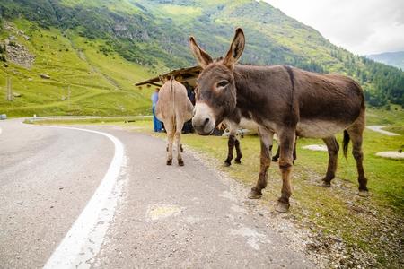 funny donkey: Funny donkey on Transfagarasan Road in Romanian mountains