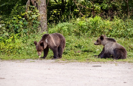 Two young bears came out of the woods to the parking lot in search of thrown out food. Transfagarasan Road - Romanian Carpathian Stock Photo
