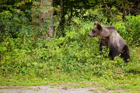 Young bear came out of the woods to the parking lot in search of thrown out food. Transfagarasan Road - Romanian Carpathian