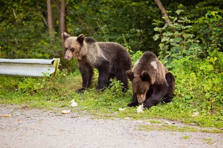 transfagarasan: Two young bears came out of the woods to the parking lot in search of thrown out food. Transfagarasan Road - Romanian Carpathian Stock Photo