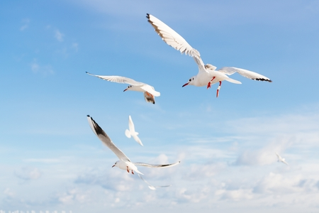 White seagulls flying over Baltic Sea in Poland Stock Photo