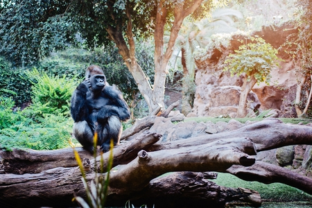 Big brown-black gorilla sitting on tree trunk in the forest Stock Photo