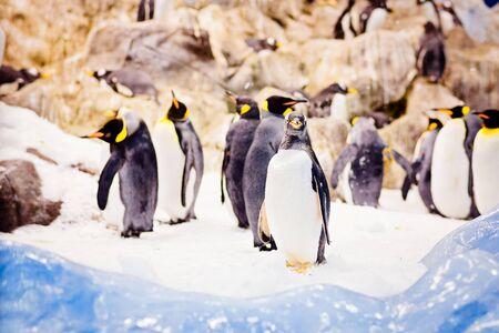 Black and white penguins walking on snow