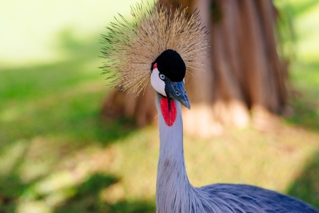 Close-up on beautiful crane walking on the meadow