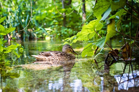 Beautiful wild duck swimming in the lake at summer