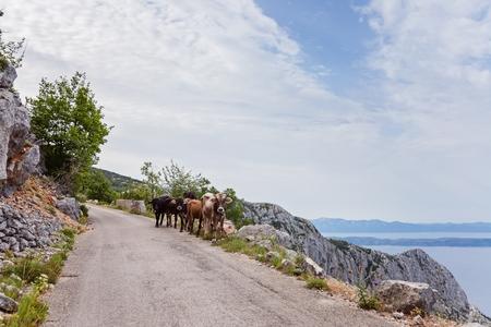 Cows on mountain road. Sveti Jure mountain, Biokovo, Croatia