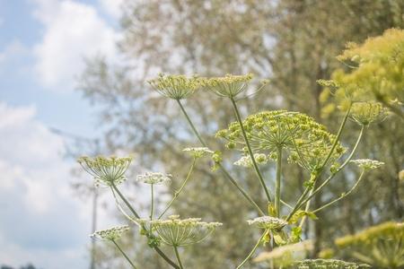 Giant hogweed dangerous poisonous plant called also Sosnowski's hogweed