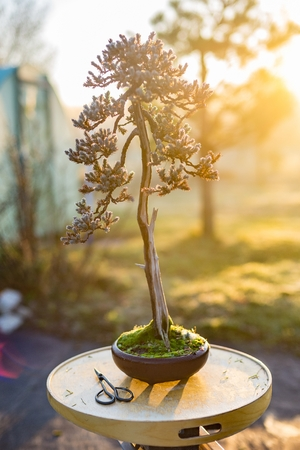 Beautiful bonsai tree in a pot outdoors. Hobby and passion concept