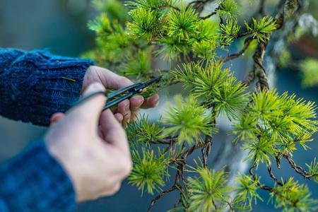 Man pruning japanese bonsai tree. Bonsai artist