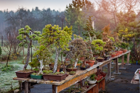 Bonsai trees growing outdoors in pots on wooden table. Bonsai farm