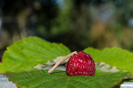 caterpillar eating raspberries Stock Photo