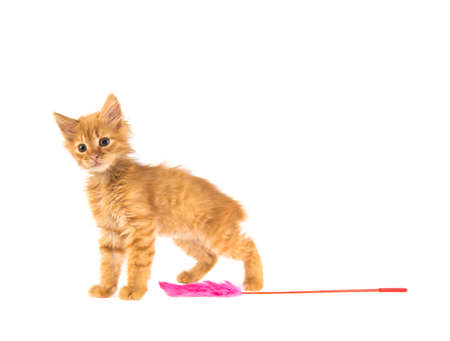 bobtail red cat ginger on white background Stock Photo