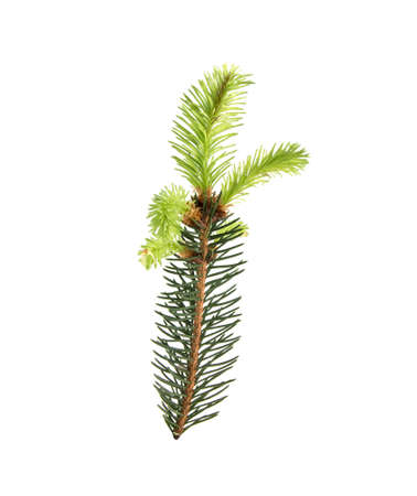 Branch of a Christmas tree with a young shoot on white background