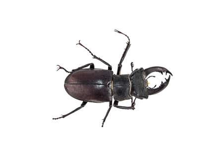 Deer beetle on white background