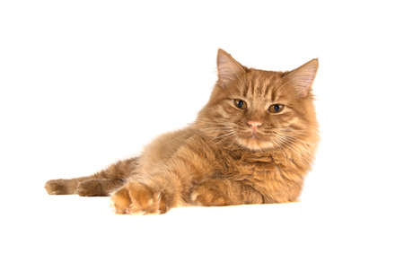 bobtail red cat ginger on isolated white background Stock Photo